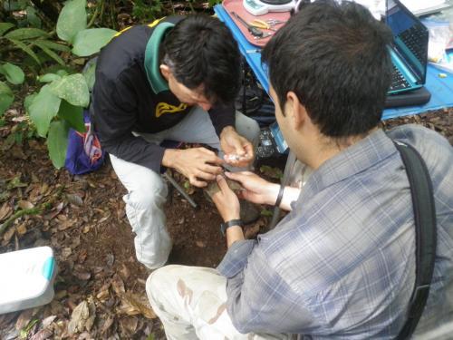 Poniendo radio transmisor al yigüirro capturado