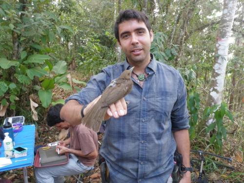 Principal dispersor de semillas (Turdus grayi)