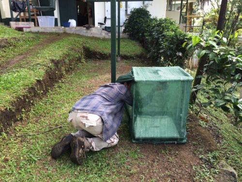 Preparando jaula para el observar el tiempo de defecación de frutos de Heliconia tortuosa consumidos por yigüirros
