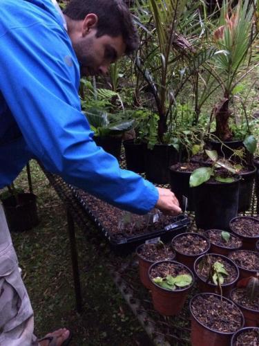 Sembrando semillas defecadas por los yigüirros para observar su germinación