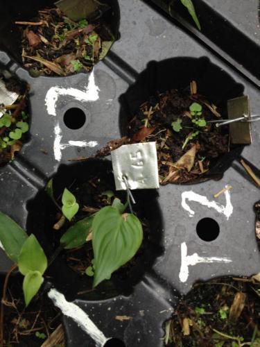 Etiqueta para identificar de cada semilla defecada por los yiguirros