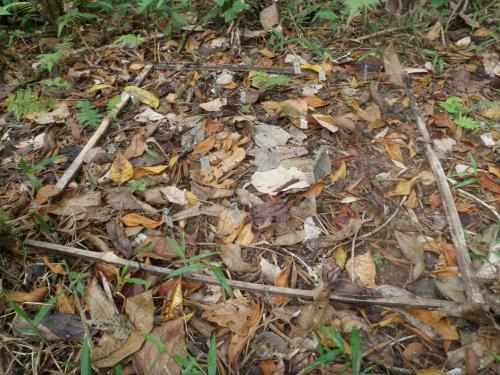 Experimento de germinación de semillas de Heliconia tortuosa en la selva
