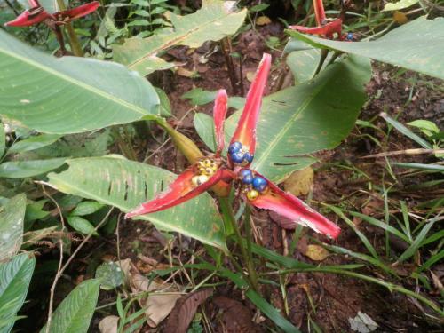 Frutos morados de Heliconia tortuosa