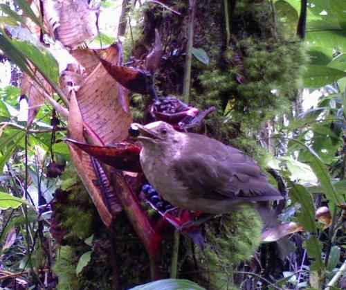 Yigüirro (Turdus griyi) comiendo un fruto de Heliconia tortuosa