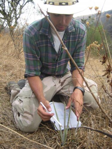 Tomando mediciones de un agave pequeño