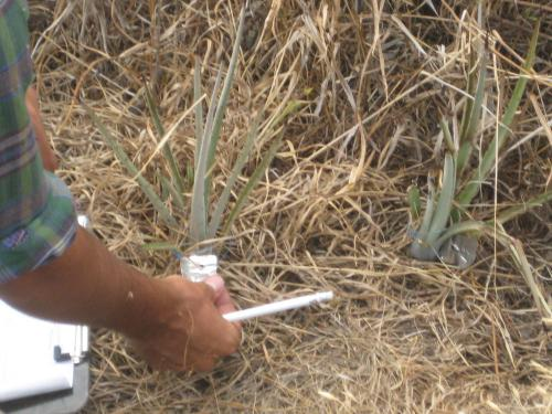 Etiquetando los agaves medidos