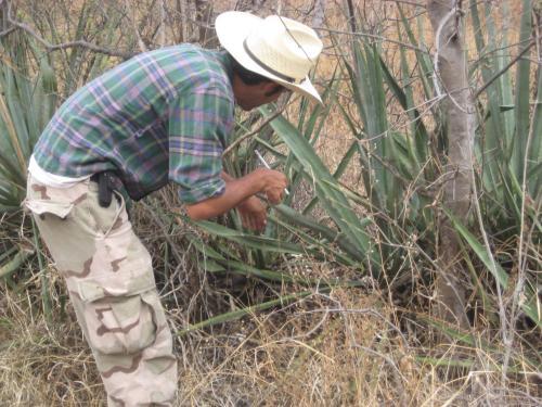 Tomando mediciones de un agave grande