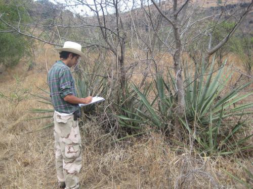 Toma de datos de las mediciones de los agaves en el primer año