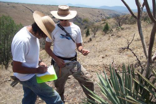 Toma de mediciones de los agaves marcados y medidos en el año anterior