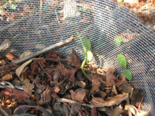 Plántula de agave germinando