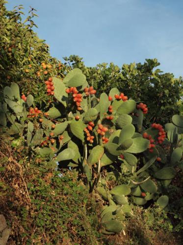 Opuntia maxima